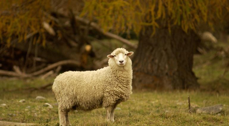 Muông Sói Hay Chiên